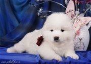 Белоснежные щенки самоедской собаки