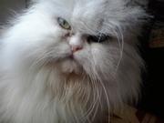 Котят персидской породы