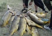 Оптом свежая рыба-сазан, сом, судак, карась