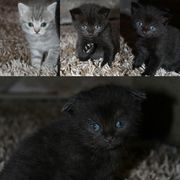 шотландские котята котиш фолд и скотиш страйт